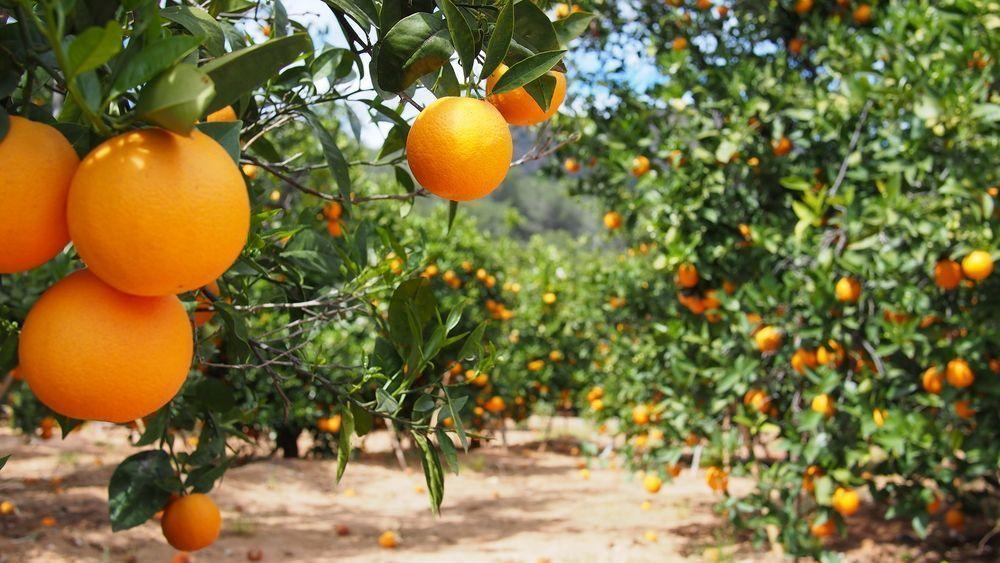Requerimientos hídricos para cultivo de cítricos | Frutas Poveda